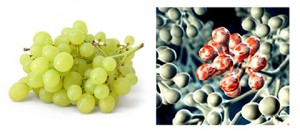 grapes-lungs-healing